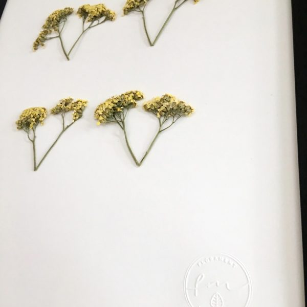Schafgarbe Herbarium