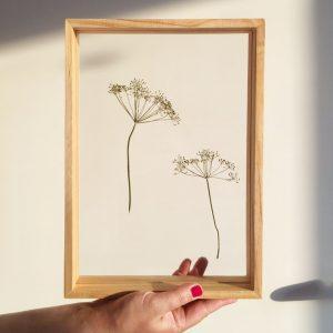Herbarium Dill