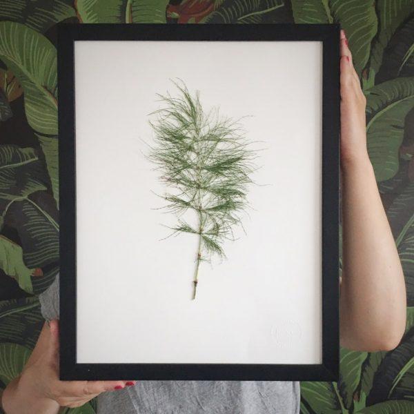 Schachtelhalm Herbarium