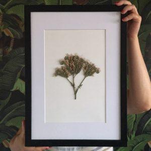 Büschelblume Herbarium