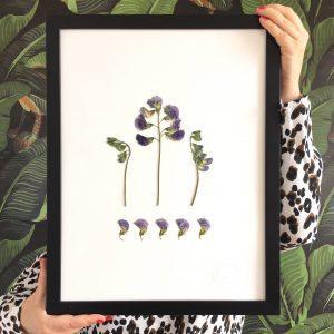 Wickeblüten Herbarium