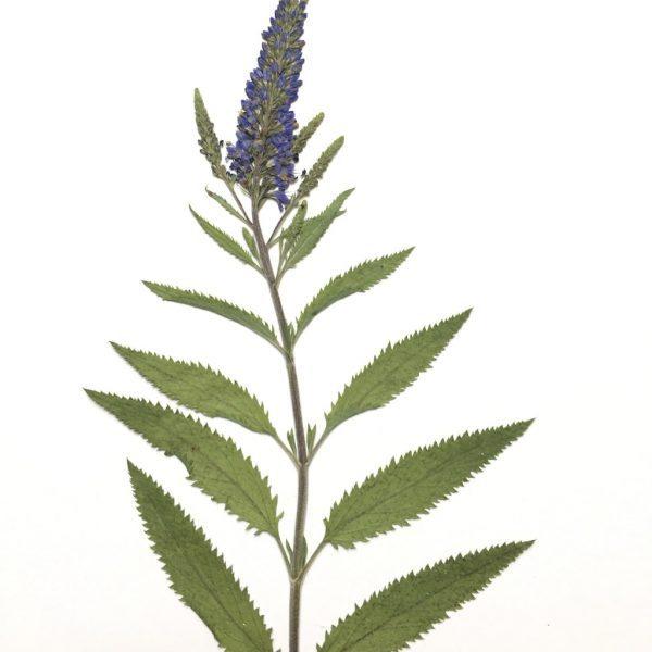 Florament Herbarium