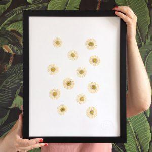 Gänseblümchen Herbarium